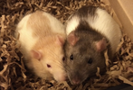 Rat Trixs - Do More With your Rats!